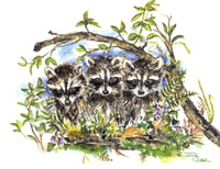 Trio of Racoons