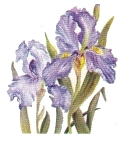 Two purple irises